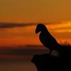 Atlantic Puffin - sunset