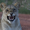 Female  Lion / Løve